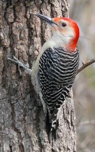 640px-Red-bellied_Woodpecker-27527
