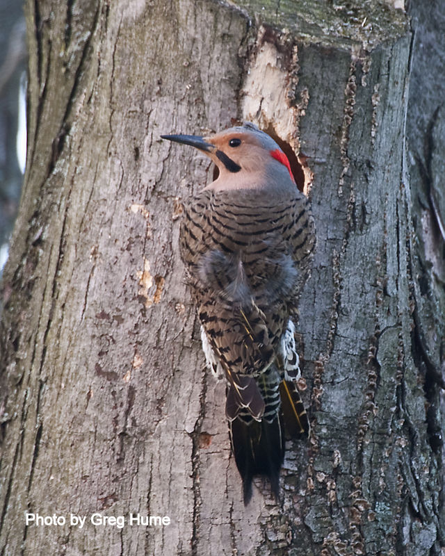 Northern Flicker Sustaining Membership
