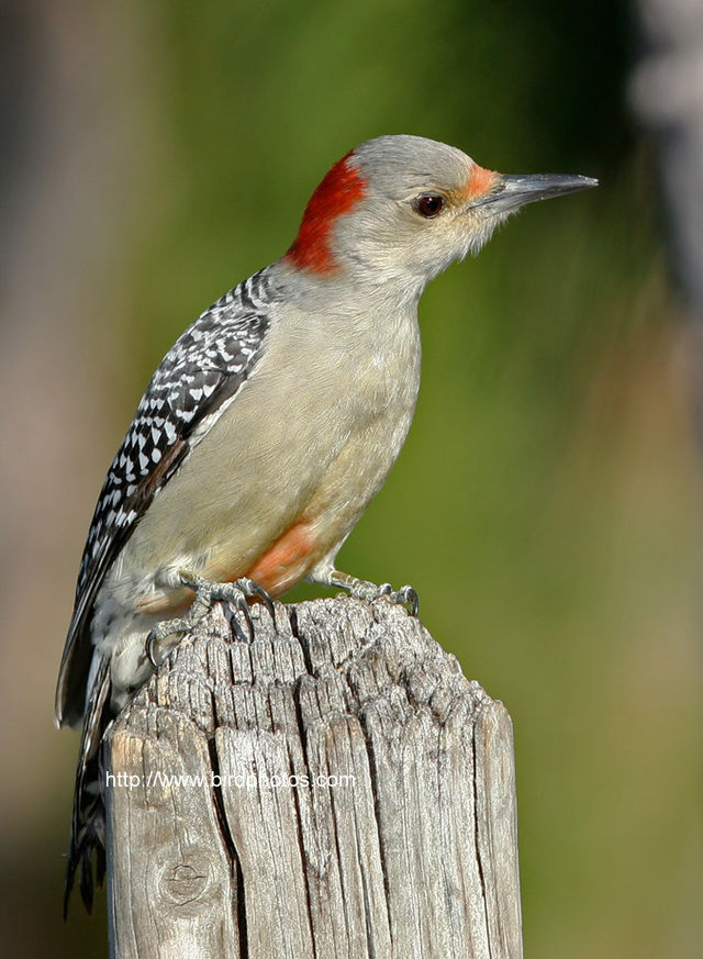 Red Bellied Woodpecker Supporting Membership