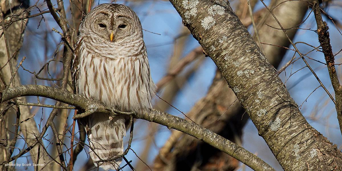 barred-owl-amherst-surner