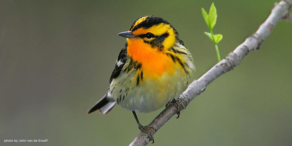 blackburnian-warbler-vandegraaff