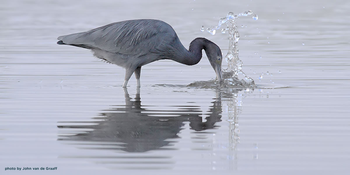 blue-heron-splash-vandegraaff