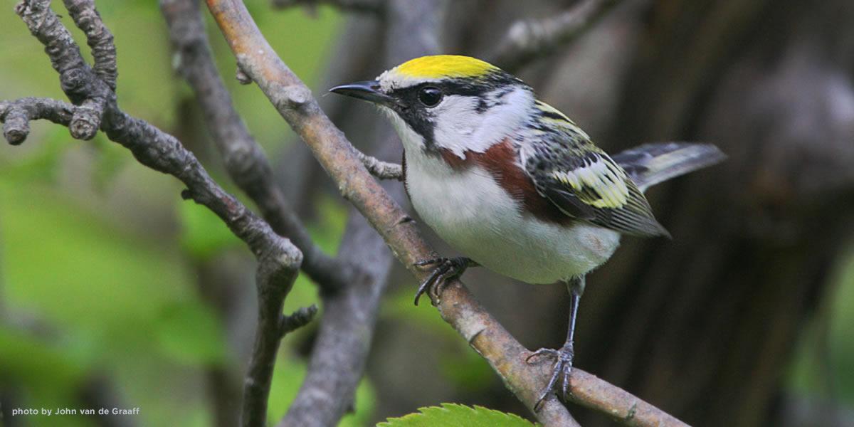 chestnut-sided-warbler-vandegraaff