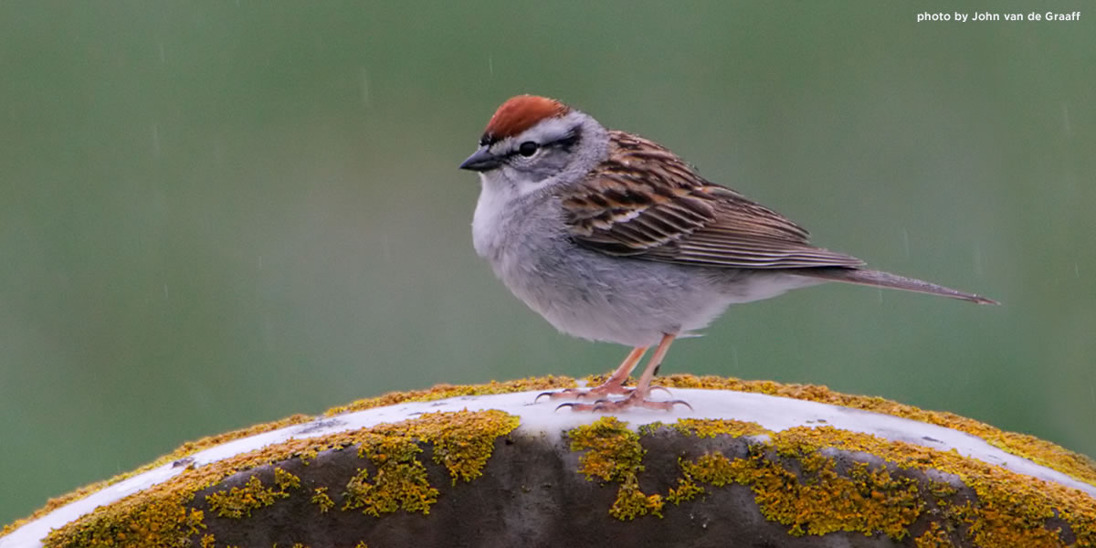chipping-sparrow-vandegraaff