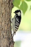 Downy Woodpecker Supporting Membership