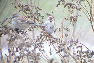 Hoary redpoll with ? sparrow. Can you identify the sparrow?
