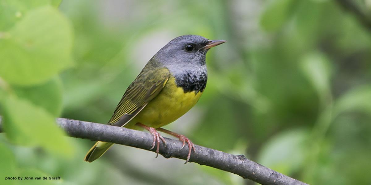 mourning-warbler-vandegraaff