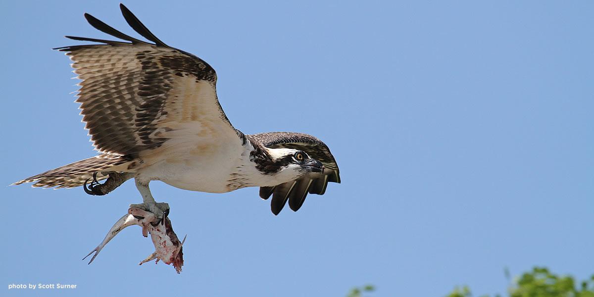 osprey-florida-surner