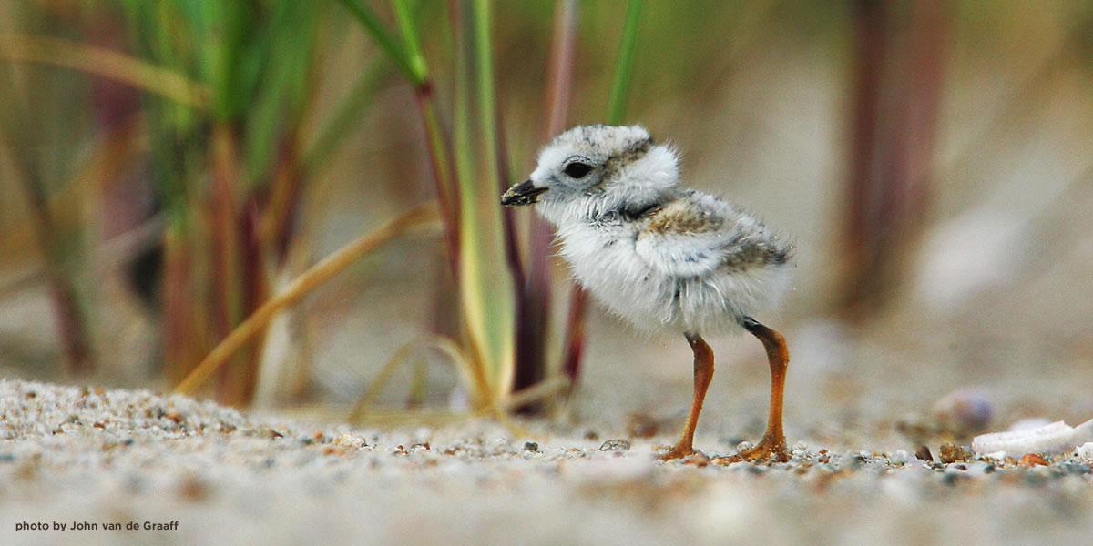 plover-chick-vandegraaff