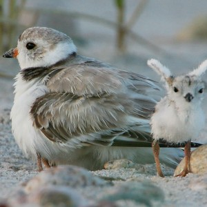 Plovers-my-little-angel-vandegraaff