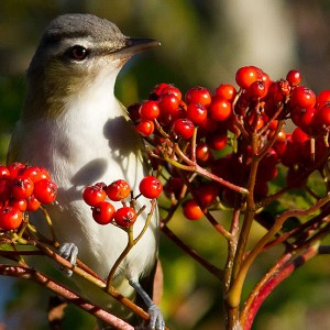 Red-eyed-vireo-monhegan-surner