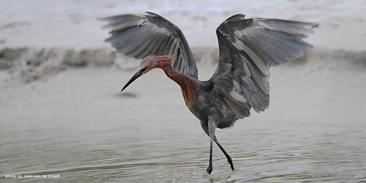 reddish-egret-vandegraaff