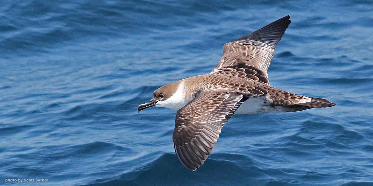 shearwater-pelagic-surner