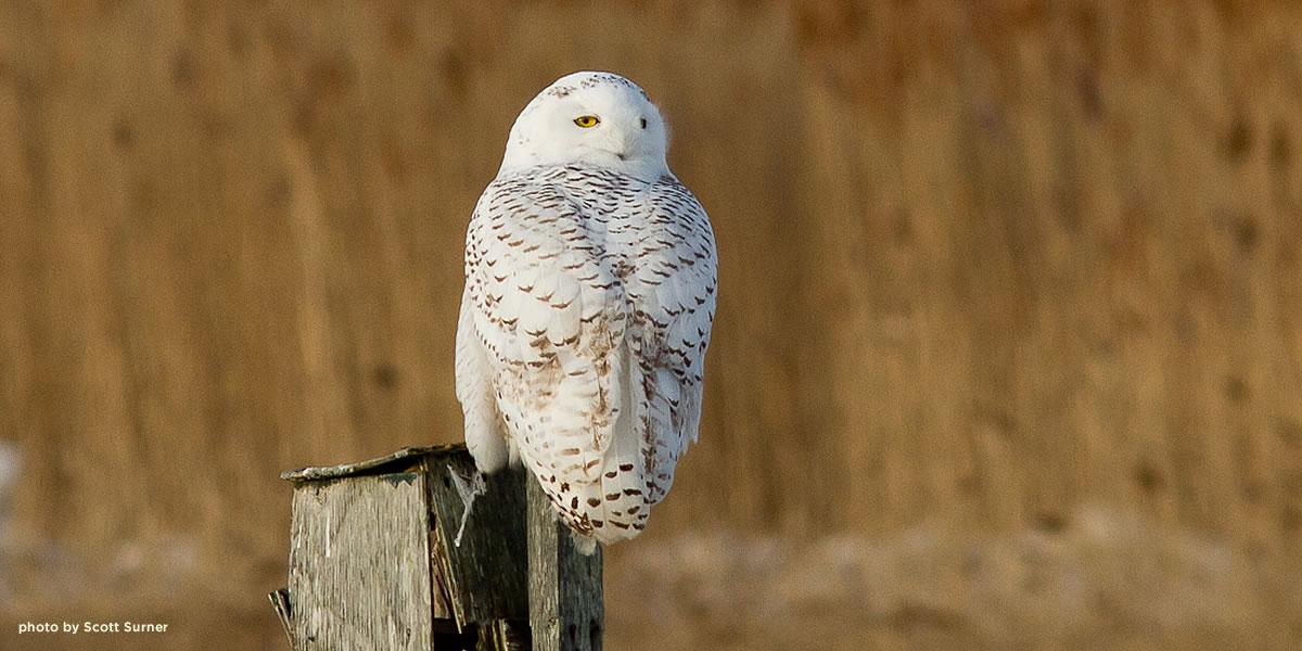 snowy-owl-salisbury-surner