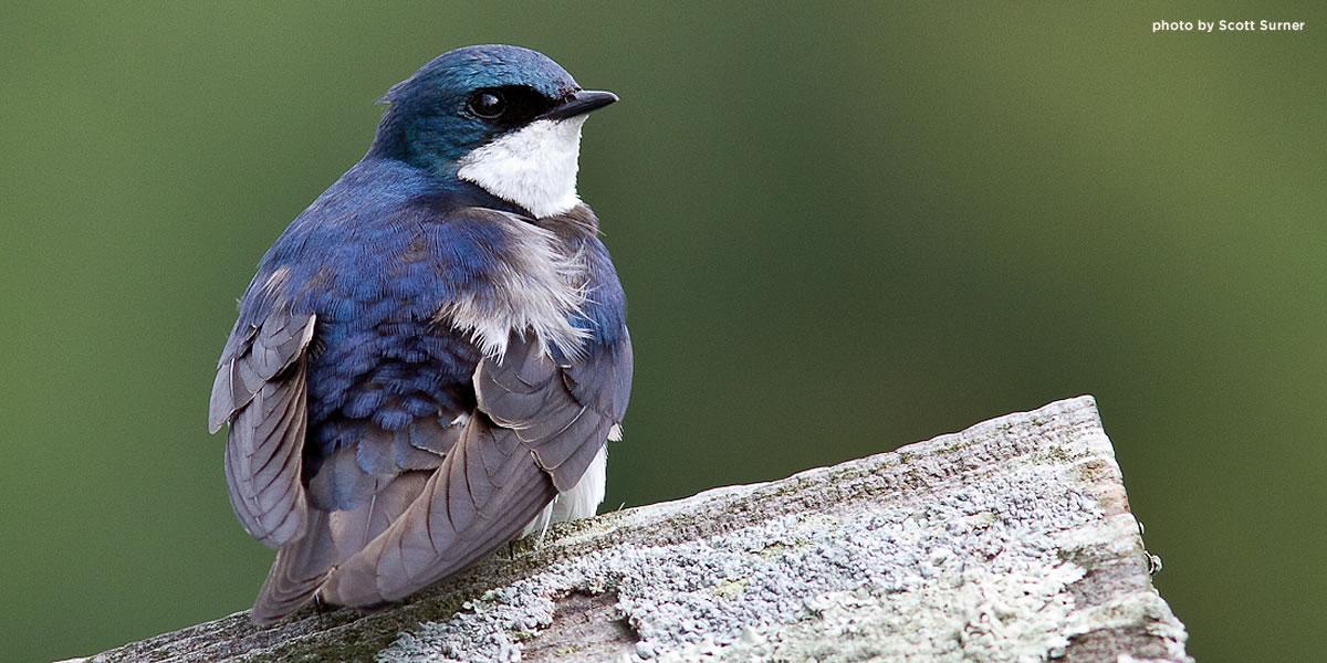 tree-swallow-quabbin-surner