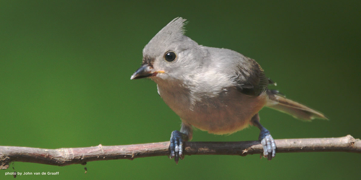 tufted-titmouse-vandegraaff